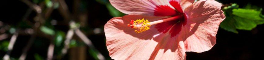 hibiscus-1358ew