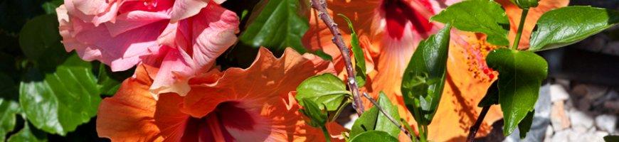 hibiscus-4083ewb