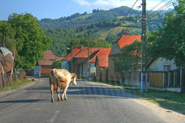 vaca1.jpg