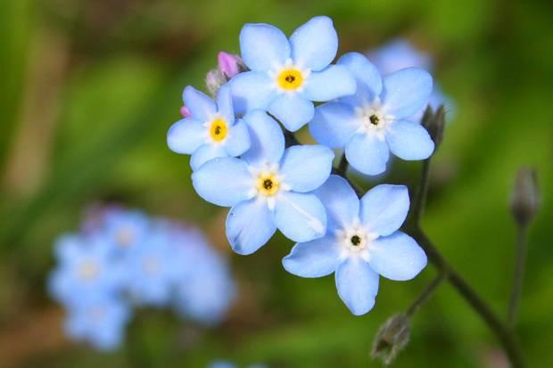 floare albastra