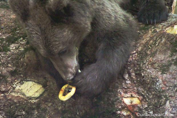 urs cu covrig in gura