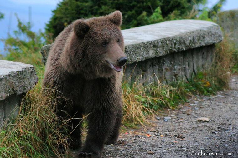 urs cersetor sinaia cota 1400
