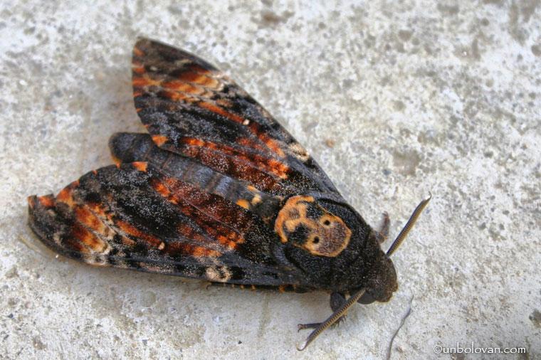 fluture cap de mort