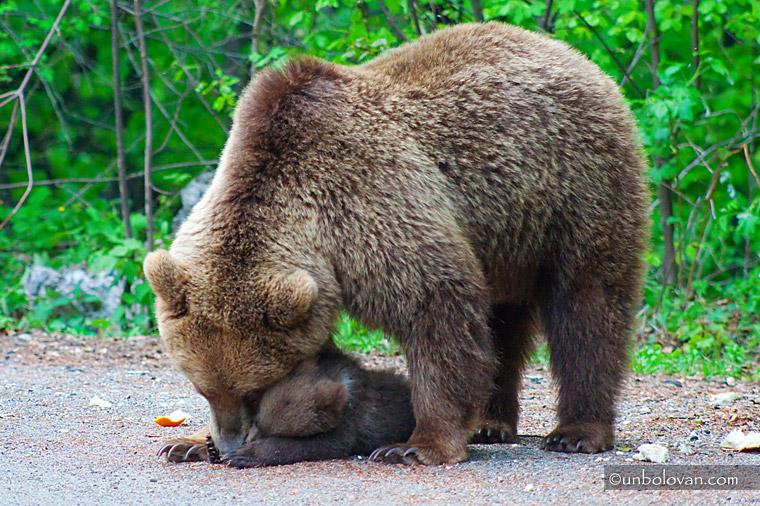 ursoaica cu pui la cersit sinaia