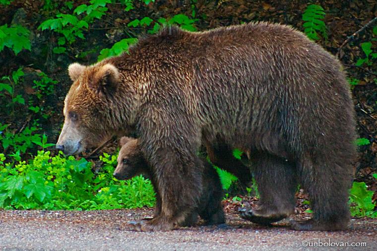 ursoaica cu pui sinaia