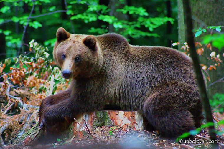 ursoaica cu puiul in padure sinaia