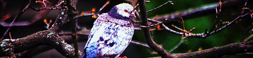sofia-un-porumbel-cam-alb