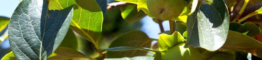 diospyros-lotus-1350ew
