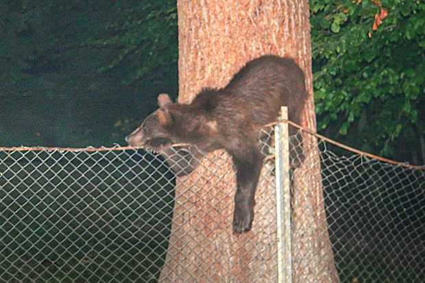 ursi cersetori sinaia noaptea