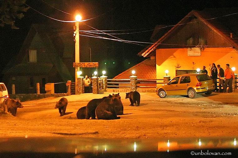 ursi cersetori noaptea sinaia