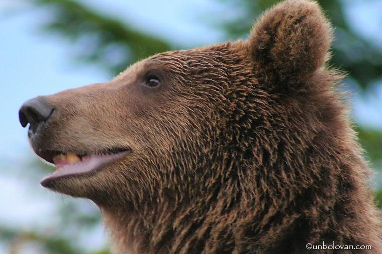 urs cersetor sinaia