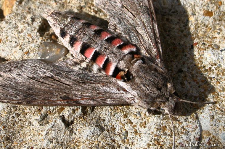molie
