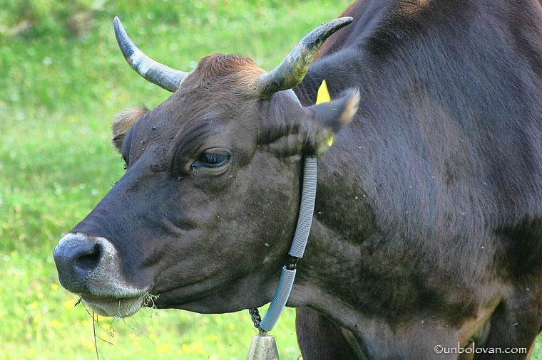 vaca in poiana
