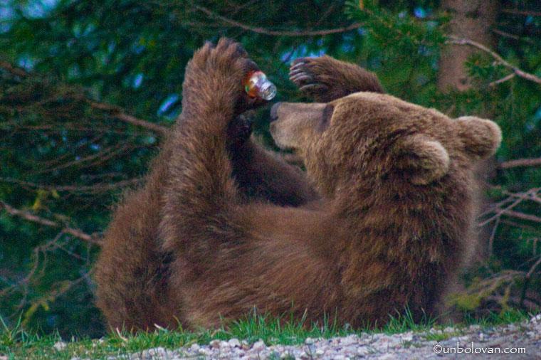 urs cersetor sinaia bea din sticla