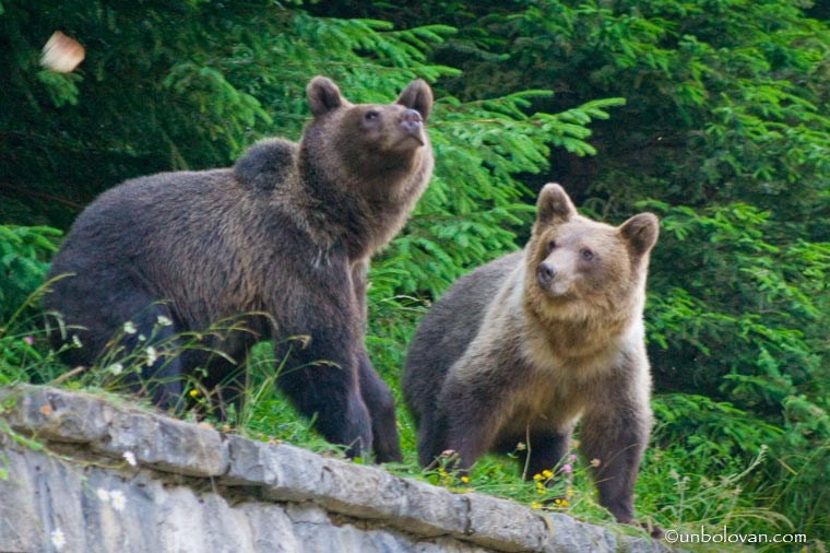 urs bucegi sinaia