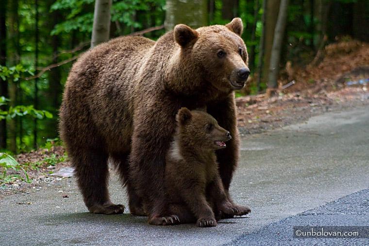 ursoaica cu puiul la cersit sinaia