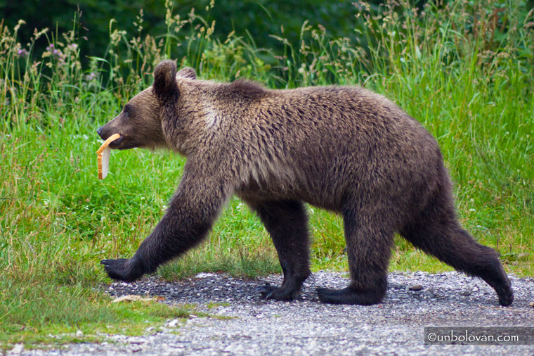 pui de urs cersetor sinaia cota 1400
