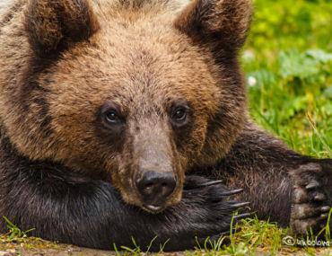 Un pui de urs